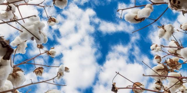 Cotton field Seasol